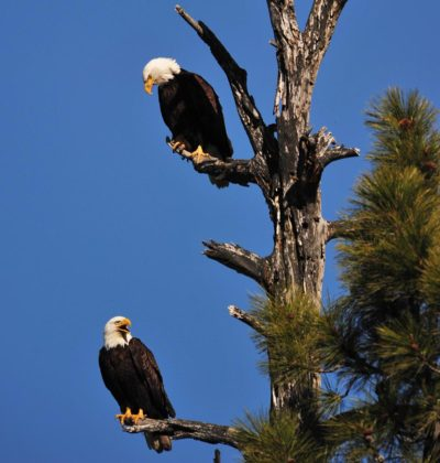 Eagle Couple in Tree